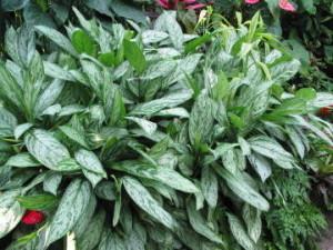 子供に良い観葉植物アグラオネマ