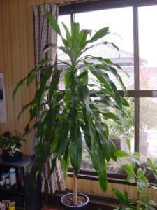 幸福の木ドラセナ・フラグランス