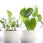 [子供に安全な観葉植物、子供の病気予防] NASAが認めた室内の空気清浄化植物ベスト5
