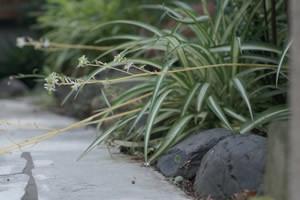 子供に安全な観葉植物オリヅルラン