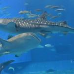 【止まると死ぬ魚、死んじゃう魚】サメは、止まったら死ぬ魚~止まると死んでしまう魚達特集「サメ・マグロ・カツオ」