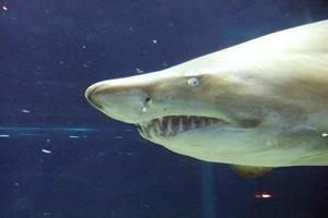 昼は泳いでいるけど、夜はどうすんの?寝ないの、サメって?