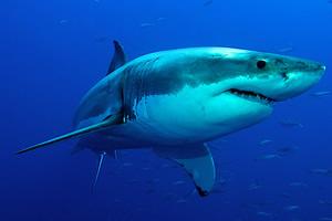 止まると死ぬ魚のホオジロザメ」