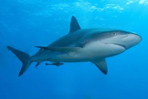 止まると死ぬ魚のメジロザメ