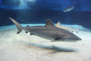 止まると死ぬ魚のイタチザメ