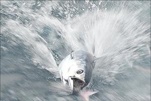 止まると死ぬ魚のカツオ