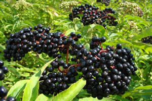 マキベリーとは、極少量で栄養や健康やダイエット効果・効能の高いスーパーフード&スーパーフルーツのひとつ
