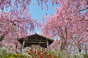 京都「桜の開花予想は、3月26日頃。満開日は4月3日頃」