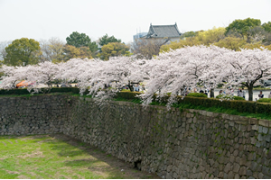 大阪「桜の開花予想は、3月28日頃。満開日は4月4日頃」