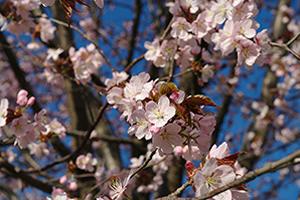 奈良「桜の開花予想は、3月26日頃。満開日は4月1日頃」