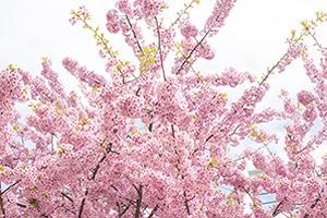 兵庫(神戸)「桜の開花予想は、3月28日頃。満開日は4月5日頃」