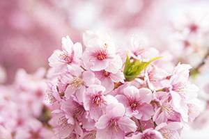 滋賀(彦根)「桜の開花予想は、4月1日頃。満開日は4月8日頃」