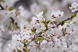 和歌山「桜の開花予想は、3月27日頃。満開日は4月3日頃」