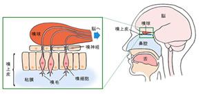 鼻毛を抜き細菌が脳に到達してしまう事があり、最悪の場合、死に至る