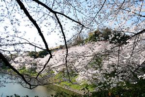 桜の開花時期と開花予想情報