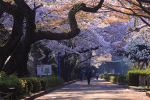 仙台「桜の開花予想は、4月6日頃。満開日は4月11日頃」