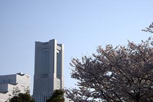 横浜市「桜の開花予想は、3月25日頃。満開日は4月1日頃」