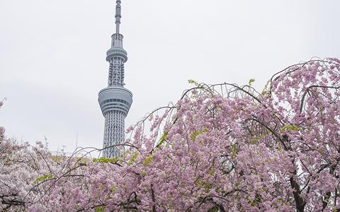 Toyko cherry tree flowering forecast