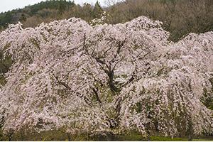 千葉県(銚子市)「桜の開花予想は、4月1日頃。満開日は4月8日頃」