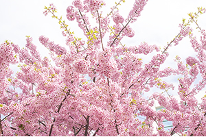 埼玉県(熊谷市)「桜の開花予想は、3月26日頃。満開日は4月1日頃」