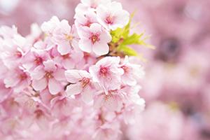 栃木県(宇都宮市)「桜の開花予想は、3月28日頃。満開日は4月4日頃」