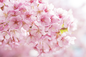 山梨県(甲府市)「桜の開花予想は、3月22日頃。満開日は3月29日頃」