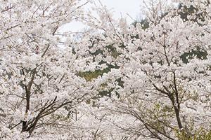 群馬県(前橋市)「桜の開花予想は、3月27日頃。満開日は4月3日頃」