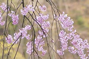 茨城県(三戸市)「桜の開花予想は、3月29日頃。満開日は4月5日頃」