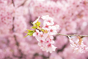長野県(長野市)「桜の開花予想は、4月4日頃。満開日は4月10日頃」