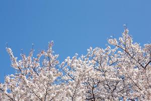 桜ソング⑩「AKB48/桜の木になろう(2012年)」