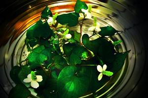 どくだみ茶の健康効果と効能