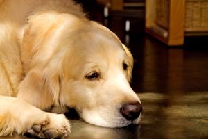 犬好きの性格と特徴、室内犬を飼う男性のあるある心理