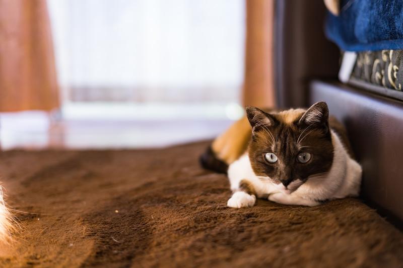 【猫が暗闇でも目が見える理由】猫は視力が悪い!瞳孔の大きさを調整、人間の3倍!~猫の視力は0.2~0.3と目が悪いのに何故?~