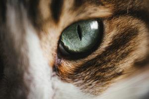 猫の目の瞳孔は、人間の3倍大きくなる